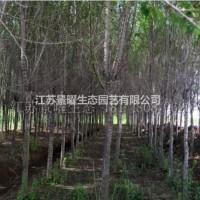 江苏宿迁榆树的产地在哪里/哪里便宜/江苏景曜生态基...