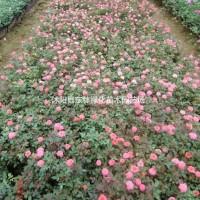 江苏宿迁供应玫瑰月季价格、玫瑰月季图片、玫瑰月季绿...