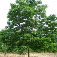 江西九江10公分到30公分的重阳木