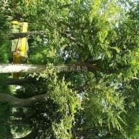 江苏沭阳朴树20公分