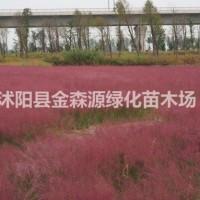 江苏沭阳紫黛乱子草产地 紫黛乱子草图片 紫黛乱子草...