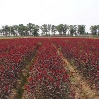 江苏宿迁美人梅、紫叶矮樱、红梅、珍珠梅、金丝梅
