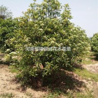 河南许昌河南椤木石楠供应