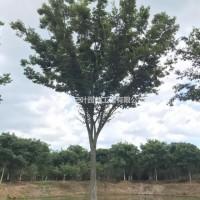 江苏镇江大量供应5公分到60公分榉树