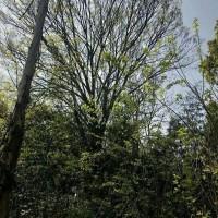 江苏苏州60公分的精品朴树图片1