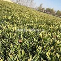 江苏沭阳箬竹产地 箬竹图片 箬竹价格