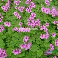 江苏沭阳红花酢浆草