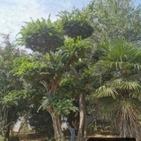 河南南阳供应异形朴树