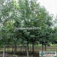 江苏宿迁供应枫香10-25公分、枫香价格、枫香绿化...