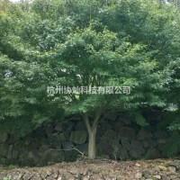 浙江杭州供应大规格鸡爪槭3到25公分批量出售
