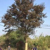江苏苏州规格36榉树*新行情/有图片展示