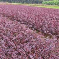 江苏宿迁红花继木、垂柳、金丝柳、栾树、白腊