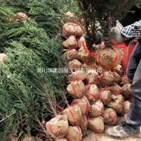 河南信阳刺柏树价格2013年与2014年价格更新