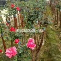 河南许昌河南鄢陵低价出售树状月季,高杆月季,独杆月...
