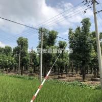 浙江湖州供应24~35公分大量容器香樟  香樟基地...