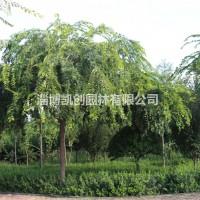 山东淄博10-15公分小叶朴用作园林风景树效果怎样...