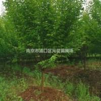 江苏南京大量供应:5公分~8公分红梅,梅花,骨里红...