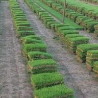 江苏宿迁草坪、马尼拉、混播草、高羊茅