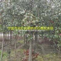 浙江宁波浙江宁波红叶石楠树6-14公分&柴桥红叶石...