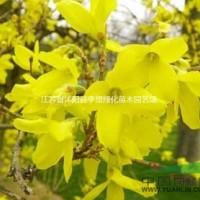 江苏宿迁供应连翘价格30-80公分高连翘图片连翘基...