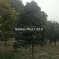 江苏宿迁供应桂花、大叶女贞、紫薇、紫叶李、蜀桧、木...