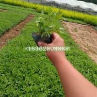 江苏沭阳观赏植物千屈菜 水生植物 水生千屈菜  千...