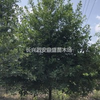 浙江湖州供应10-15公分精品娜塔栎    浙江长...