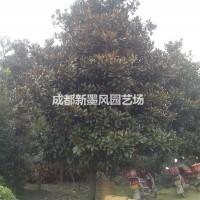 四川成都广玉兰/成都广玉兰/大规格广玉兰