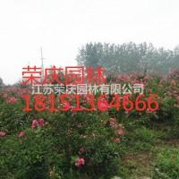 江苏沭阳江苏常年供应丛生紫薇 丛生紫薇价格