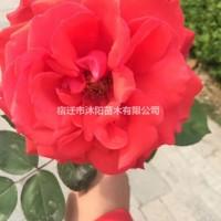江苏沭阳红帽月季价格_红帽月季产地_红帽月季绿化苗...