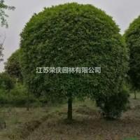 江苏沭阳江苏常年供应规格4公分~15公分桂花树