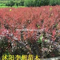 江苏宿迁供应红叶小波价格30-60公分高小波图片小...
