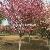 江苏宿迁供应樱花8-18公分价格、樱花图片、樱花绿...