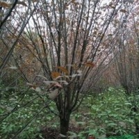 安徽合肥供应安徽桂花、红叶李、红叶石楠、樱花等