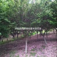 江苏宿迁供应玉兰、樱花、红枫、紫叶李、木槿、广玉兰...