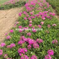 江苏宿迁 供应:金边黄杨球、红叶小波球、小叶女贞、...