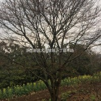 浙江绍兴供20-22公分鸡爪槭