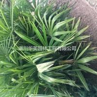 河南信阳棕榈树价格/30年棕榈苗种植经验