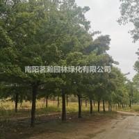 河南南阳限量版20--25公分精品原冠五角枫现货供...