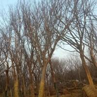 江苏苏州大量出售各种规格榉树  精品榉树