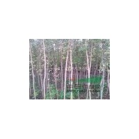 江苏宿迁低价出售复叶槭2一4公分2万棵