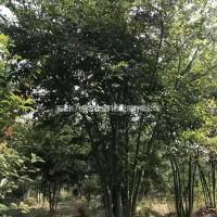 浙江湖州供应丛生朴树30公分~80公分 湖州货源