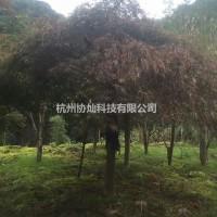 浙江杭州供应青羽毛枫与红羽毛枫规格5-20公分