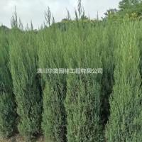河南信阳种植30年河南桧价格