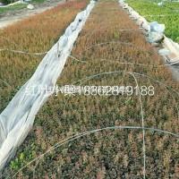 江苏宿迁沭阳供应大量红叶小檗  有需要联系