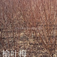 江苏宿迁供应:红叶石楠球紫叶桃、桂花.红枫、香樟、...