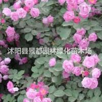 江苏沭阳供应攀援植物蔷薇花苗 蔷薇小苗