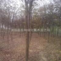 江苏宿迁 供榉树.樱花.垂柳.蜀桧、龙柏、合欢.栾...