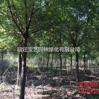 江苏沭阳江苏常年供应规格8公分~18公分香樟树