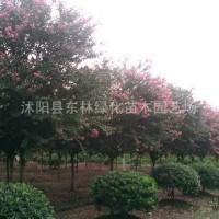 江苏宿迁大量供应沭阳紫薇,东林苗圃紫薇量大优惠
